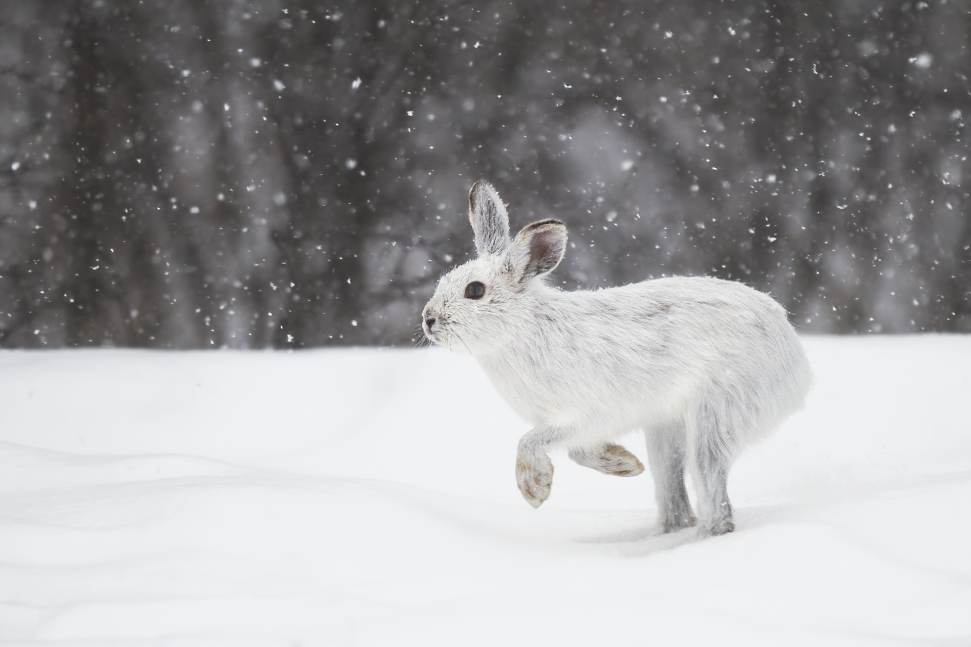 カンジキウサギ
