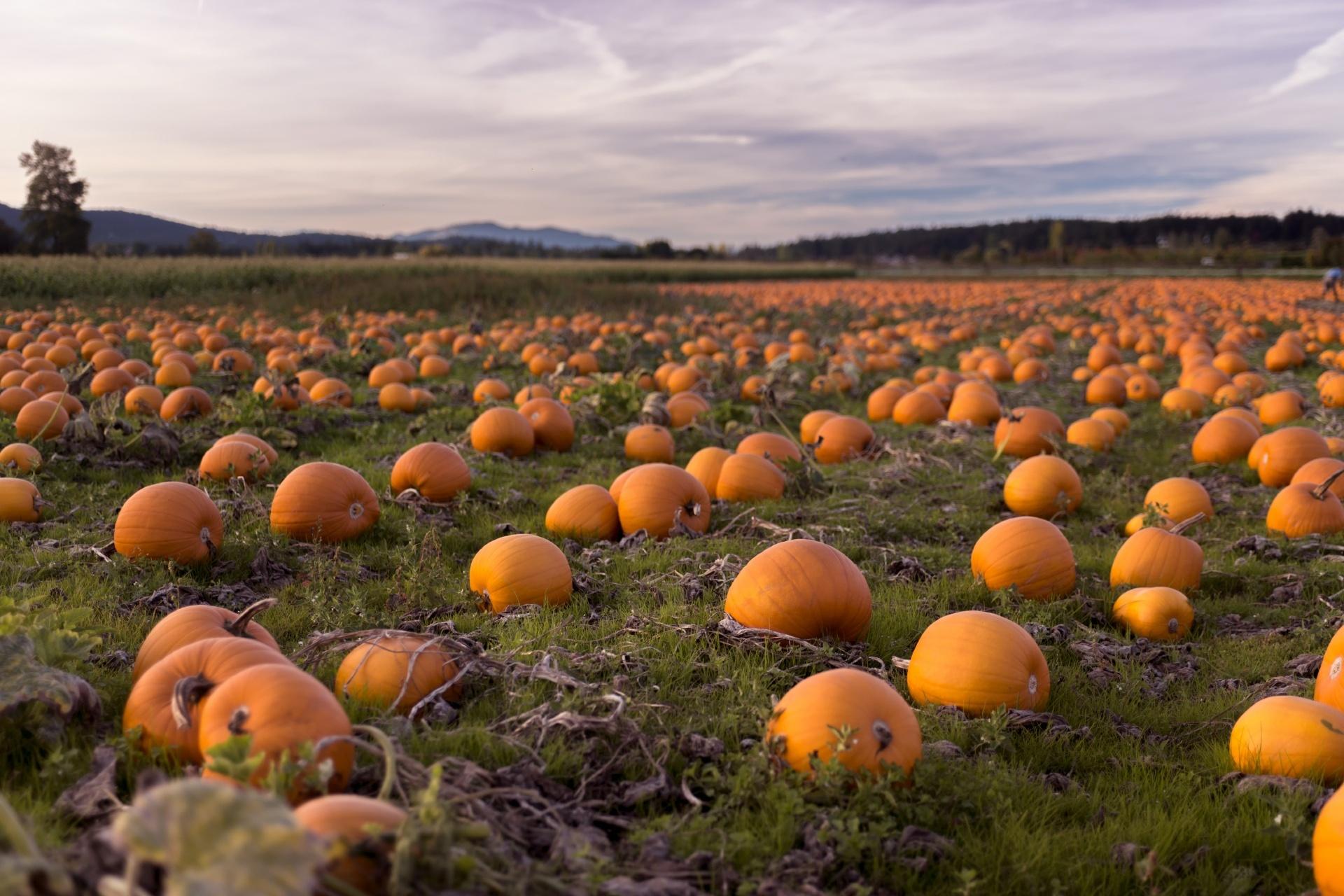 夕暮れのパンプキンパッチ ブリティッシュコロンビア州ヴィクトリア カナダの風景